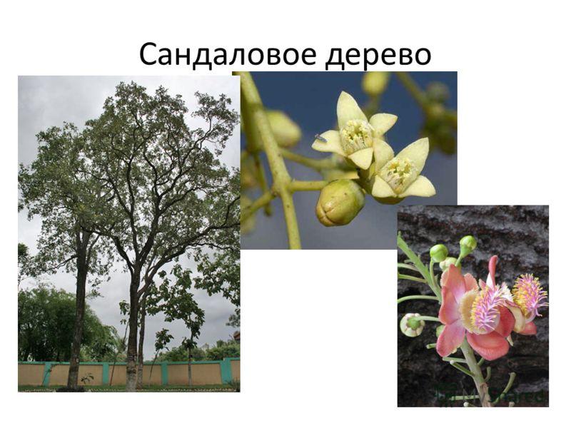 Сандаловое дерево