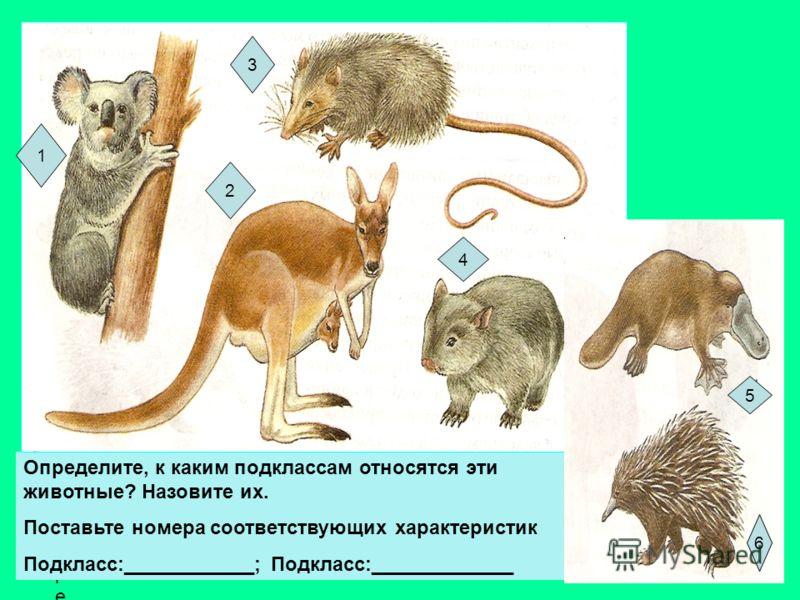 ОпределитеОпределите Определите, к каким подклассам относятся эти животные? Назовите их. Поставьте номера соответствующих характеристик Подкласс:____________; Подкласс:_____________ 1 3 2 4 5 6