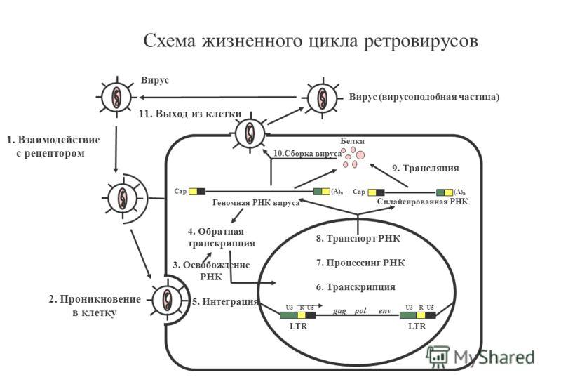 U3 RU5 U3 RU5 gag pol env 8. Транспорт РНК 7. Процессинг РНК 6. Транскрипция LTR Cap (A) n Геномная РНК вируса Cap (A) n Сплайсированная РНК Белки 9. Трансляция 10.Сборка вируса 3. Освобождение РНК 4. Обратная транскрипция 5. Интеграция Вирус 11. Вых