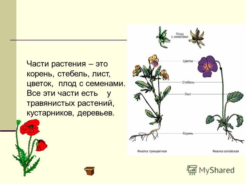 Части растения Окружающий мир ( 2 класс )