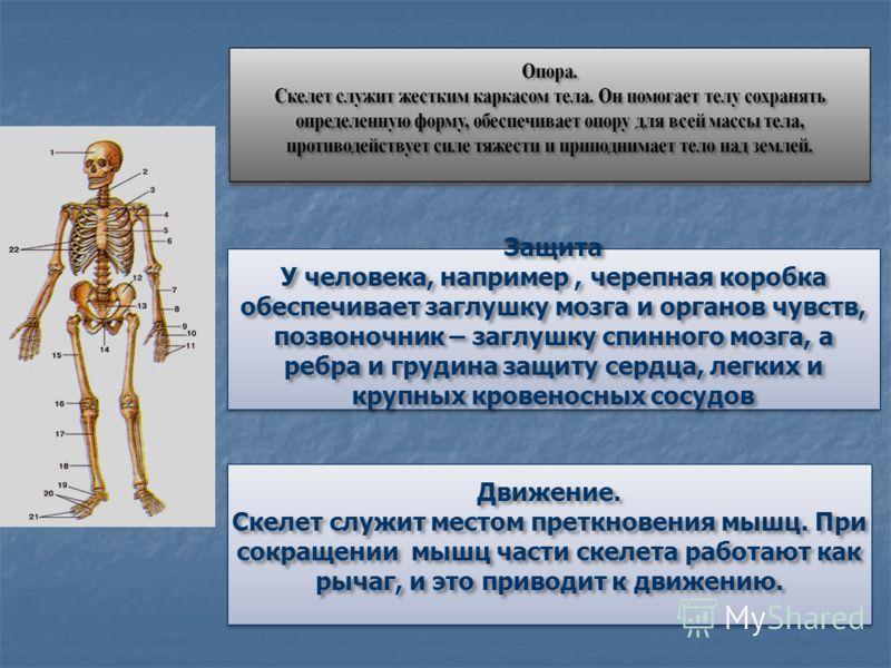 Защита У человека, например, черепная коробка обеспечивает заглушку мозга и органов чувств, позвоночник – заглушку спинного мозга, а ребра и грудина защиту сердца, легких и крупных кровеносных сосудов Движение. Скелет служит местом преткновения мышц.