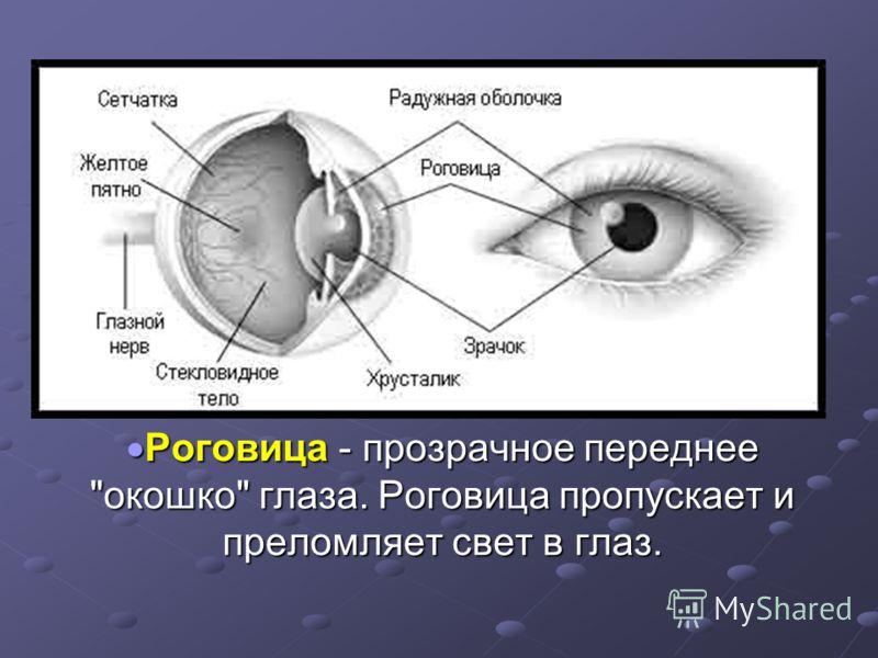 Роговица - прозрачное переднее окошко глаза. Роговица пропускает и преломляет свет в глаз. Роговица - прозрачное переднее окошко глаза. Роговица пропускает и преломляет свет в глаз.