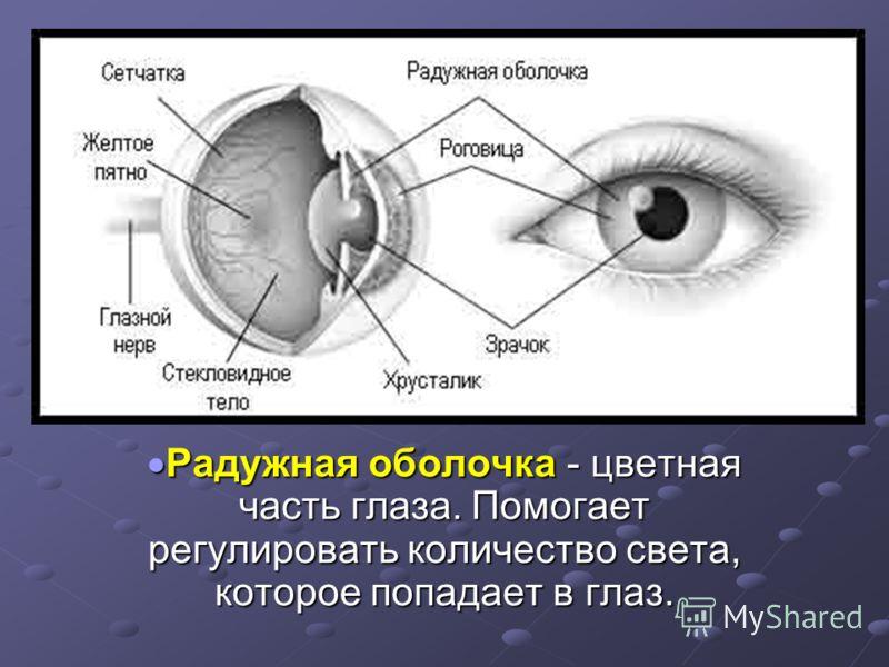 Радужная оболочка - цветная часть глаза. Помогает регулировать количество света, которое попадает в глаз. Радужная оболочка - цветная часть глаза. Помогает регулировать количество света, которое попадает в глаз.