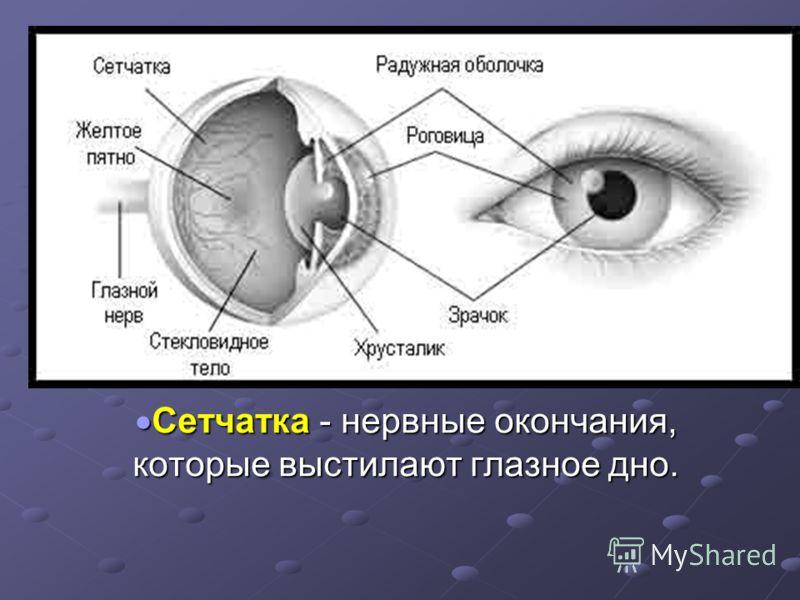 Сетчатка - нервные окончания, которые выстилают глазное дно. Сетчатка - нервные окончания, которые выстилают глазное дно.