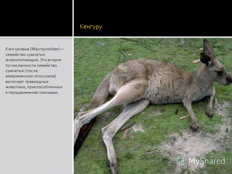Кенгуру Кенгуровые (Macropodidae) семейство сумчатых млекопитающих. Это второе по численности семейство сумчатых (после американских опоссумов) включает травоядных животных, приспособленных к передвижению скачками.