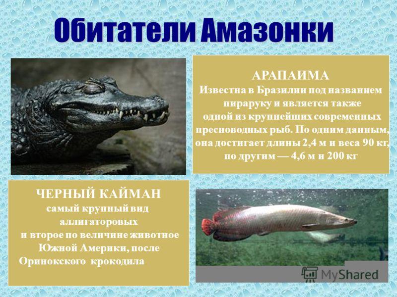 ЧЕРНЫЙ КАЙМАН самый крупный вид аллигаторовых и второе по величине животное Южной Америки, после Оринокского крокодила АРАПАИМА Известна в Бразилии под названием пираруку и является также одной из крупнейших современных пресноводных рыб. По одним дан
