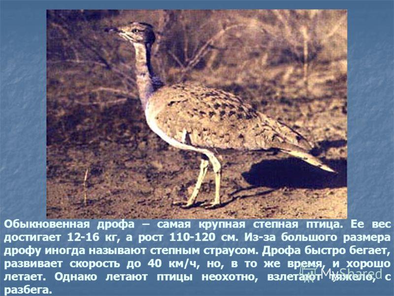 Обыкновенная дрофа – самая крупная степная птица. Ее вес достигает 12-16 кг, а рост 110-120 см. Из-за большого размера дрофу иногда называют степным страусом. Дрофа быстро бегает, развивает скорость до 40 км/ч, но, в то же время, и хорошо летает. Одн