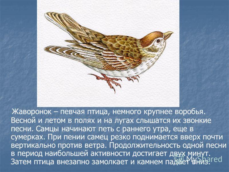 Жаворонок – певчая птица, немного крупнее воробья. Весной и летом в полях и на лугах слышатся их звонкие песни. Самцы начинают петь с раннего утра, еще в сумерках. При пении самец резко поднимается вверх почти вертикально против ветра. Продолжительно