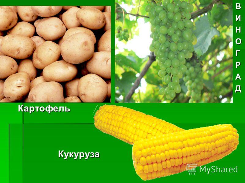 КартофельВИНОГРАДКукуруза