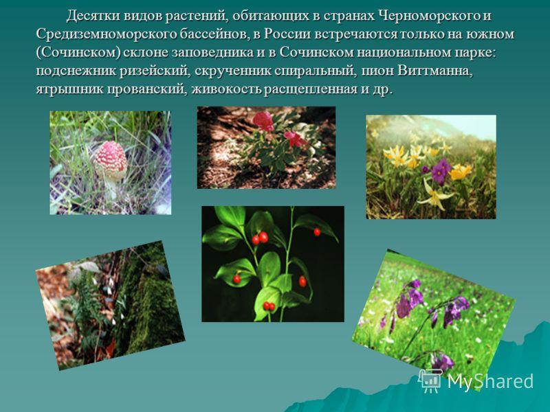 Десятки видов растений, обитающих в странах Черноморского и Средиземноморского бассейнов, в России встречаются только на южном (Сочинском) склоне заповедника и в Сочинском национальном парке: подснежник ризейский, скрученник спиральный, пион Виттманн