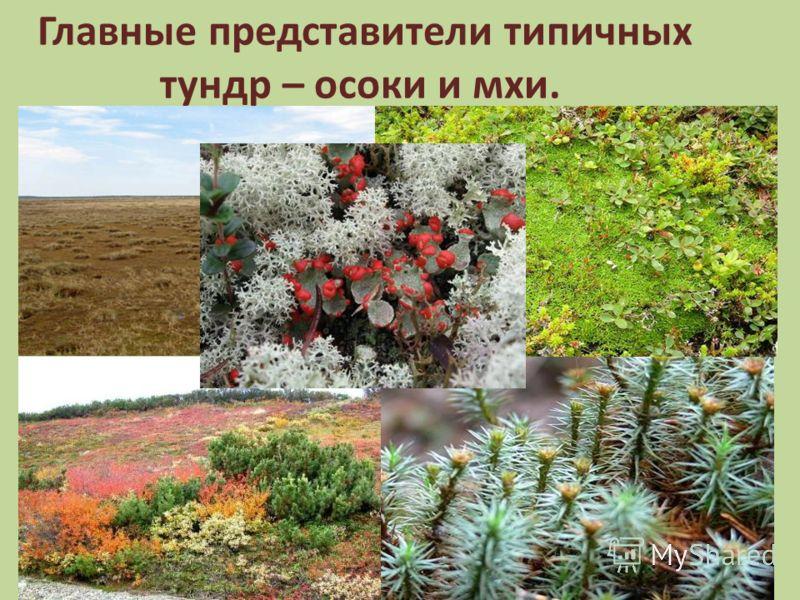 Главные представители типичных тундр – осоки и мхи.