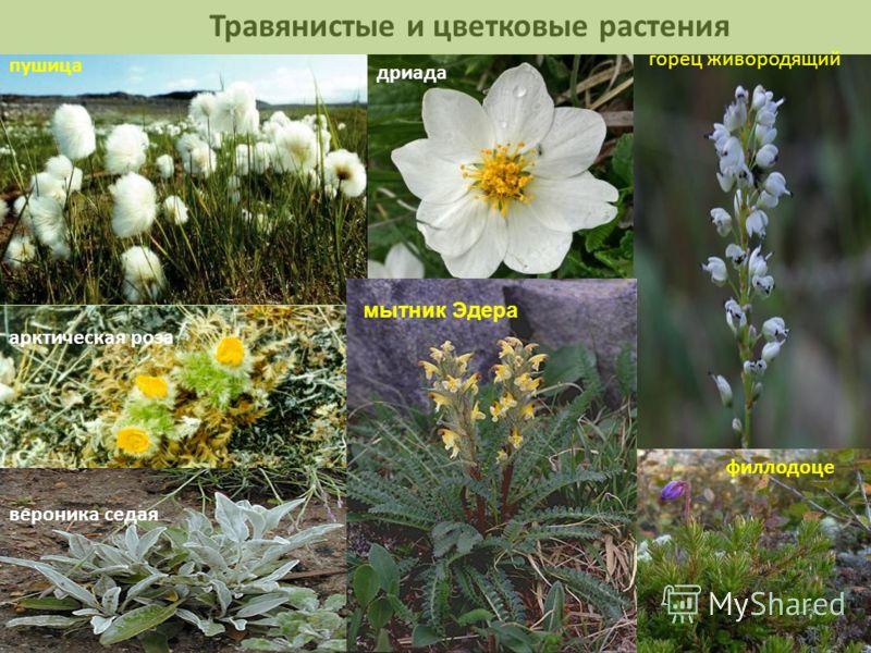 Травянистые и цветковые растения пушица арктическая роза дриада горец живородящий вероника седая филлодоце мытник Эдера