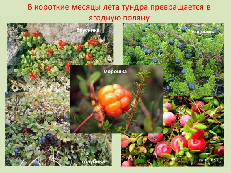 В короткие месяцы лета тундра превращается в ягодную поляну морошка брусника клюква голубика водяника