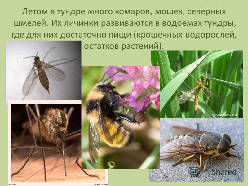 Летом в тундре много комаров, мошек, северных шмелей. Их личинки развиваются в водоёмах тундры, где для них достаточно пищи (крошечных водорослей, остатков растений).