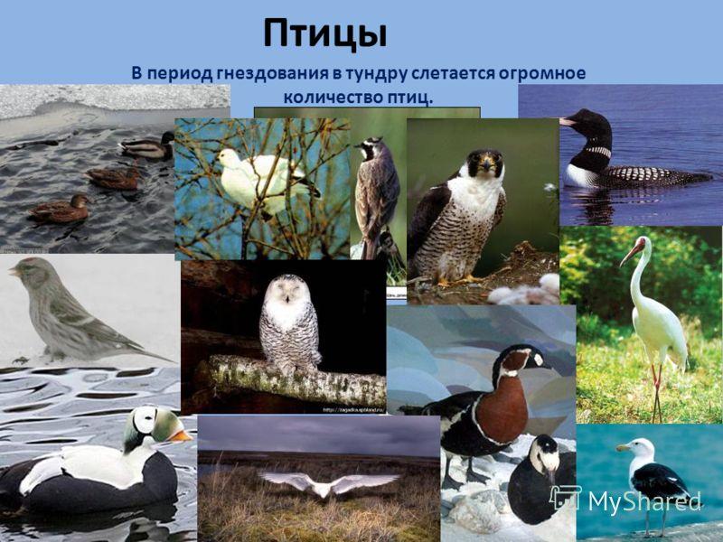 Птицы В период гнездования в тундру слетается огромное количество птиц.