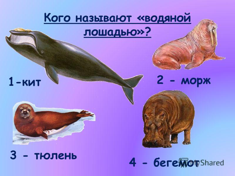 Кого называют «водяной лошадью»? 1-кит 2 - морж 3 - тюлень 4 - бегемот