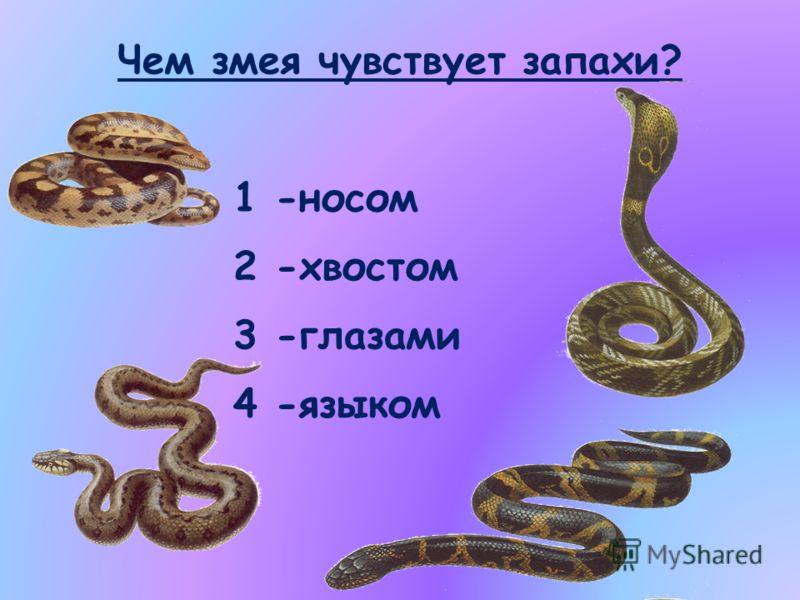 Чем змея чувствует запахи? 1 -носом 2 -хвостом 3 -глазами 4 -языком