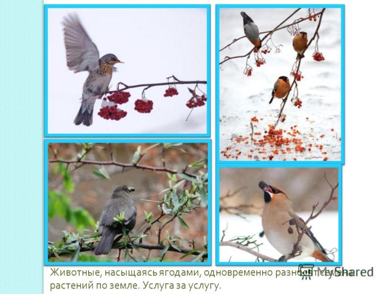 Животные, насыщаясь ягодами, одновременно разносят семена растений по земле. Услуга за услугу.