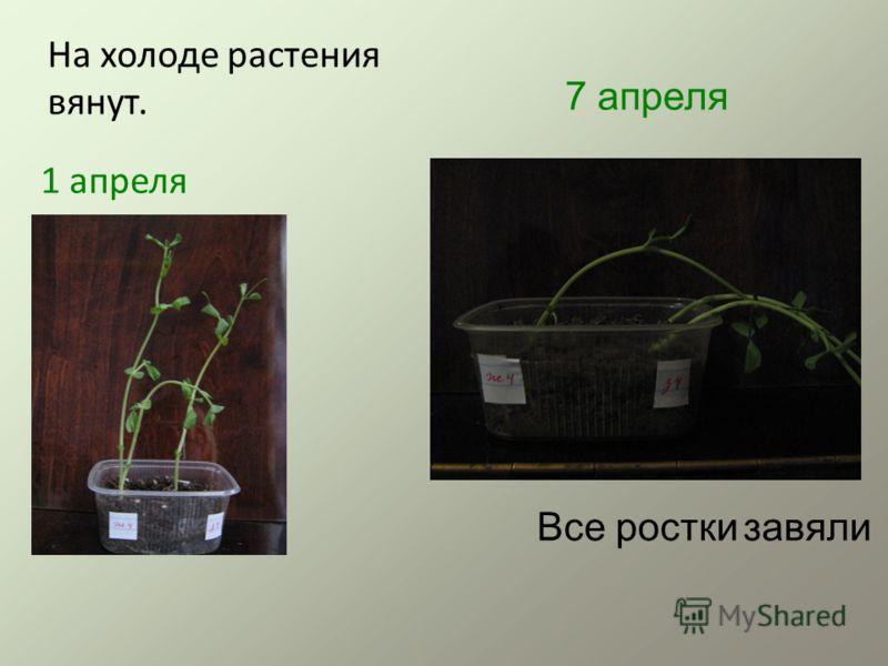 1 апреля На холоде растения вянут. 7 апреля Все ростки завяли