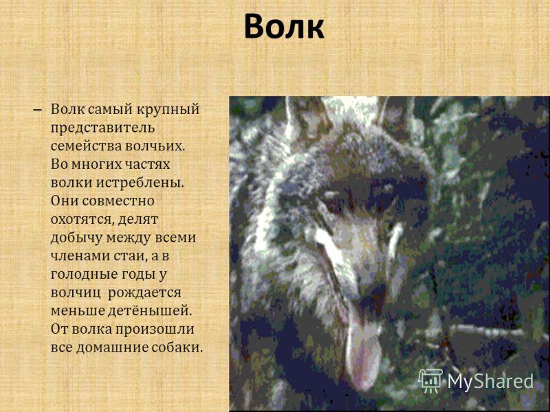 Волк – Волк самый крупный представитель семейства волчьих. Во многих частях волки истреблены. Они совместно охотятся, делят добычу между всеми членами стаи, а в голодные годы у волчиц рождается меньше детёнышей. От волка произошли все домашние собаки