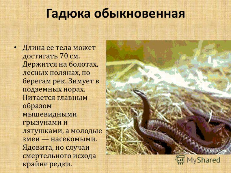 Гадюка обыкновенная Длина ее тела может достигать 70 см. Держится на болотах, лесных полянах, по берегам рек. Зимует в подземных норах. Питается главным образом мышевидными грызунами и лягушками, а молодые змеи насекомыми. Ядовита, но случаи смертель