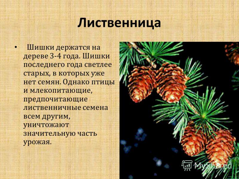 Лиственница Шишки держатся на дереве 3-4 года. Шишки последнего года светлее старых, в которых уже нет семян. Однако птицы и млекопитающие, предпочитающие лиственничные семена всем другим, уничтожают значительную часть урожая.