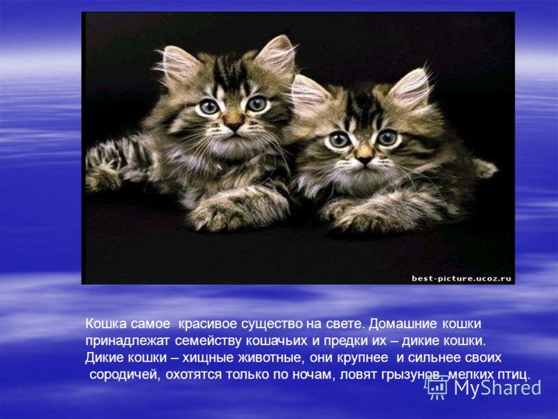 Кошка самое красивое существо на свете. Домашние кошки принадлежат семейству кошачьих и предки их – дикие кошки. Дикие кошки – хищные животные, они крупнее и сильнее своих сородичей, охотятся только по ночам, ловят грызунов, мелких птиц.