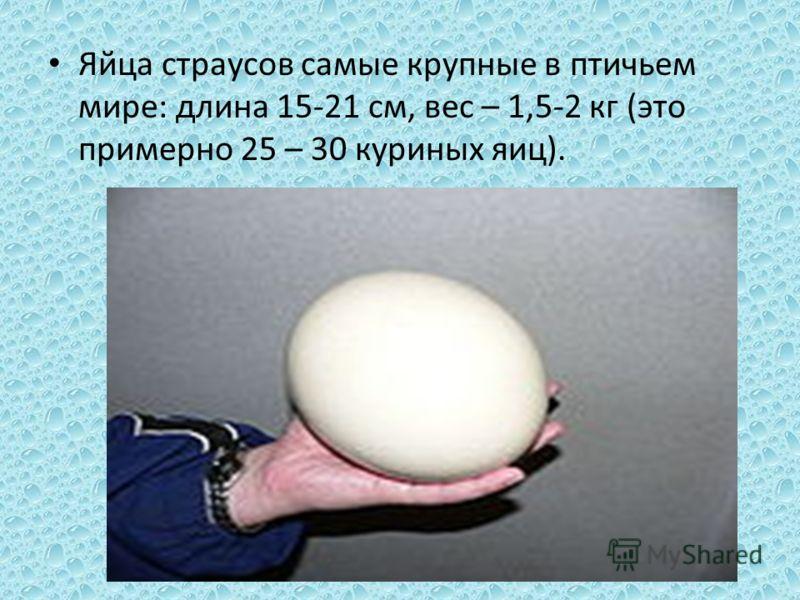 Яйца страусов самые крупные в птичьем мире: длина 15-21 см, вес – 1,5-2 кг (это примерно 25 – 30 куриных яиц).