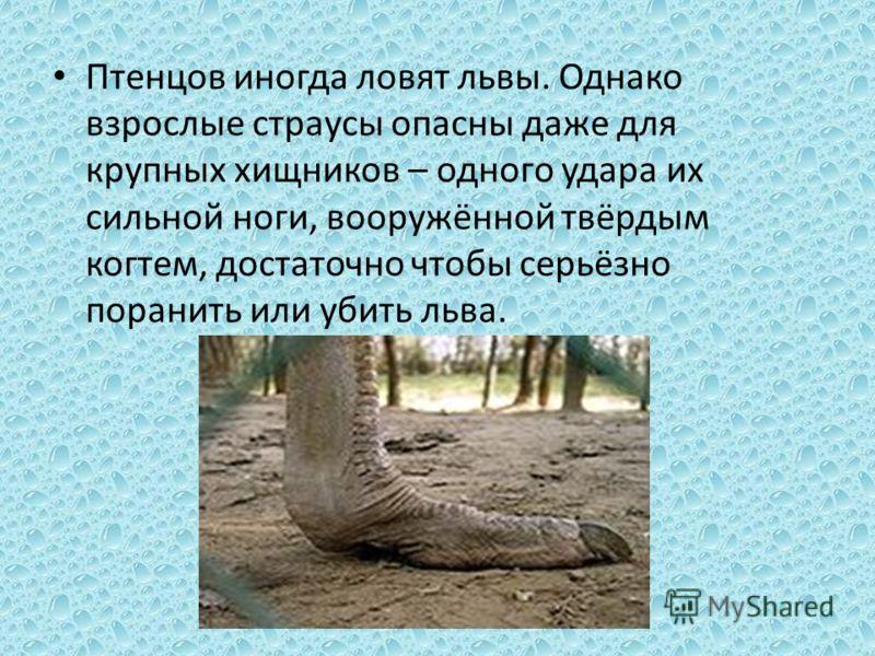 Птенцов иногда ловят львы. Однако взрослые страусы опасны даже для крупных хищников – одного удара их сильной ноги, вооружённой твёрдым когтем, достаточно чтобы серьёзно поранить или убить льва.