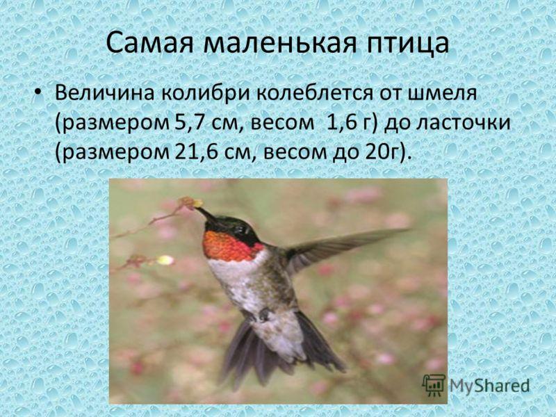 Самая маленькая птица Величина колибри колеблется от шмеля (размером 5,7 см, весом 1,6 г) до ласточки (размером 21,6 см, весом до 20г).