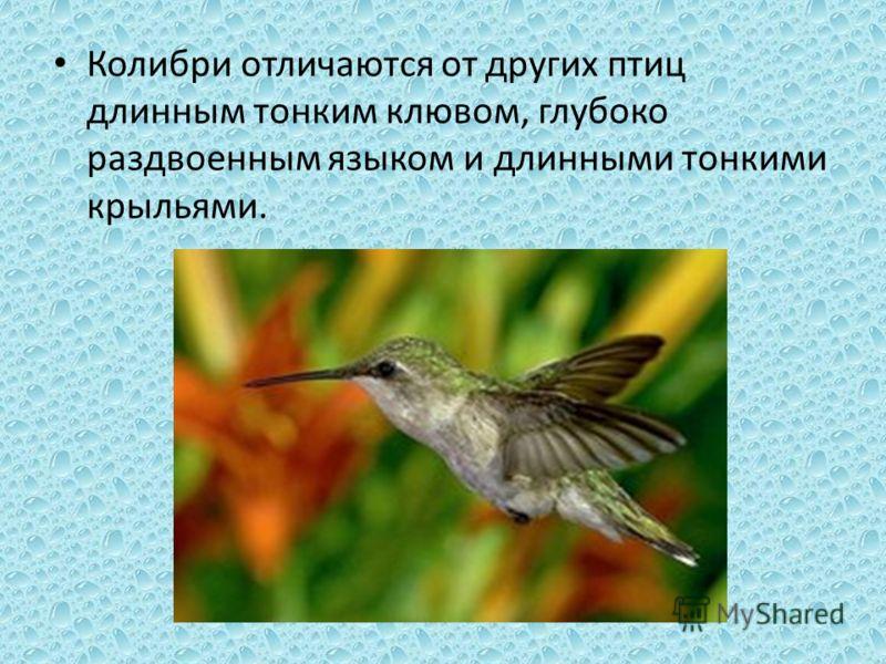 Колибри отличаются от других птиц длинным тонким клювом, глубоко раздвоенным языком и длинными тонкими крыльями.