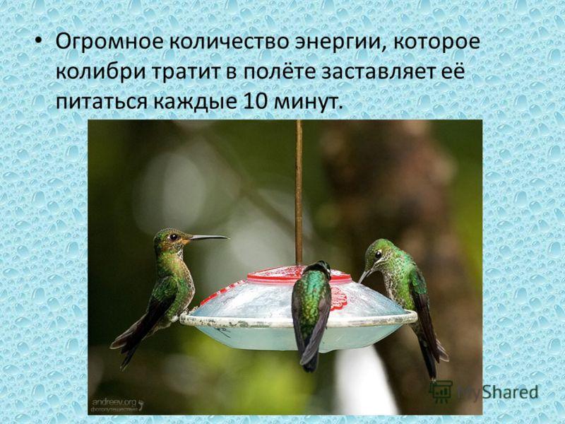 Огромное количество энергии, которое колибри тратит в полёте заставляет её питаться каждые 10 минут.
