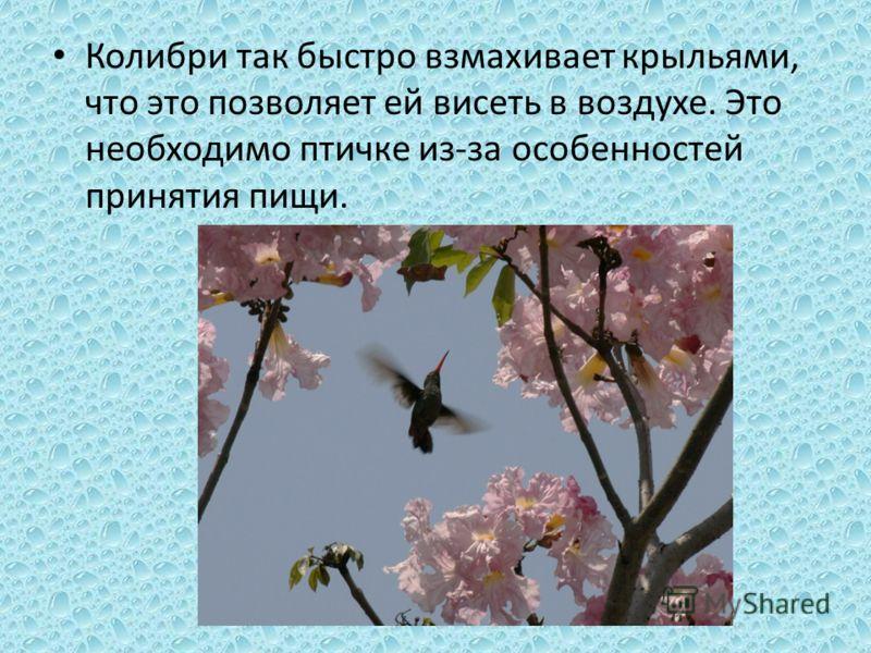 Колибри так быстро взмахивает крыльями, что это позволяет ей висеть в воздухе. Это необходимо птичке из-за особенностей принятия пищи.