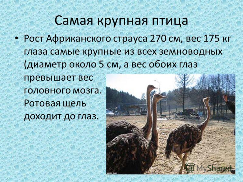 Самая крупная птица Рост Африканского страуса 270 см, вес 175 кг глаза самые крупные из всех земноводных (диаметр около 5 см, а вес обоих глаз превышает вес головного мозга. Ротовая щель доходит до глаз.