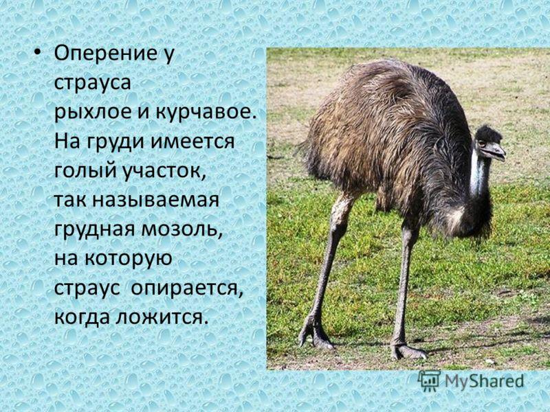 Оперение у страуса рыхлое и курчавое. На груди имеется голый участок, так называемая грудная мозоль, на которую страус опирается, когда ложится.
