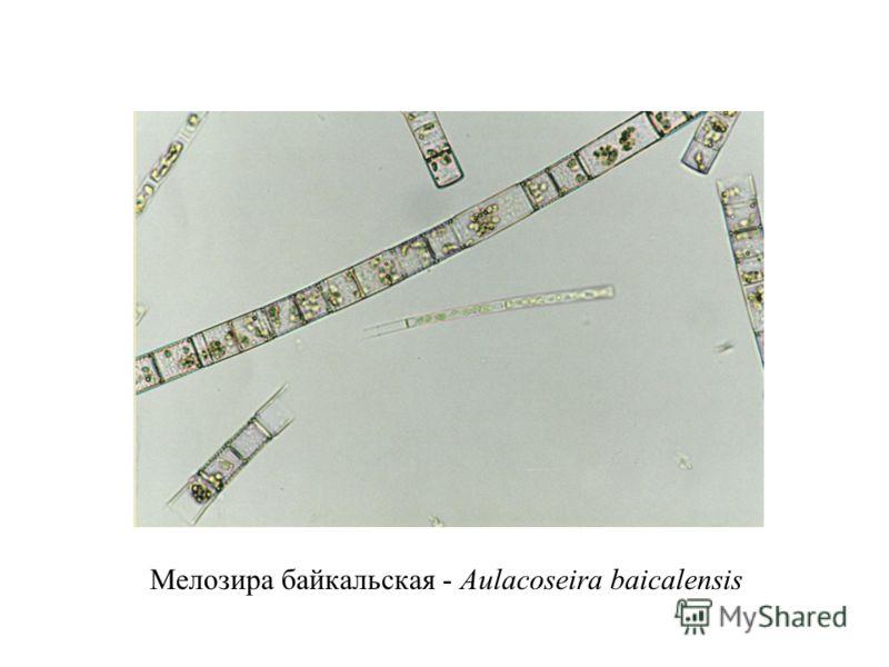 Мелозира байкальская - Aulacoseira baicalensis