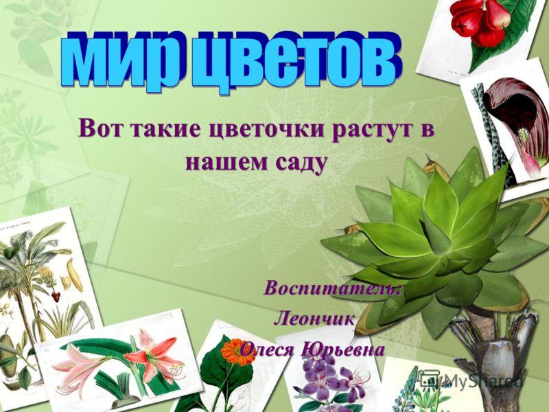 Вот такие цветочки растут в нашем саду Воспитатель: Леончик Олеся Юрьевна Вот такие цветочки растут в нашем саду Воспитатель: Леончик Олеся Юрьевна