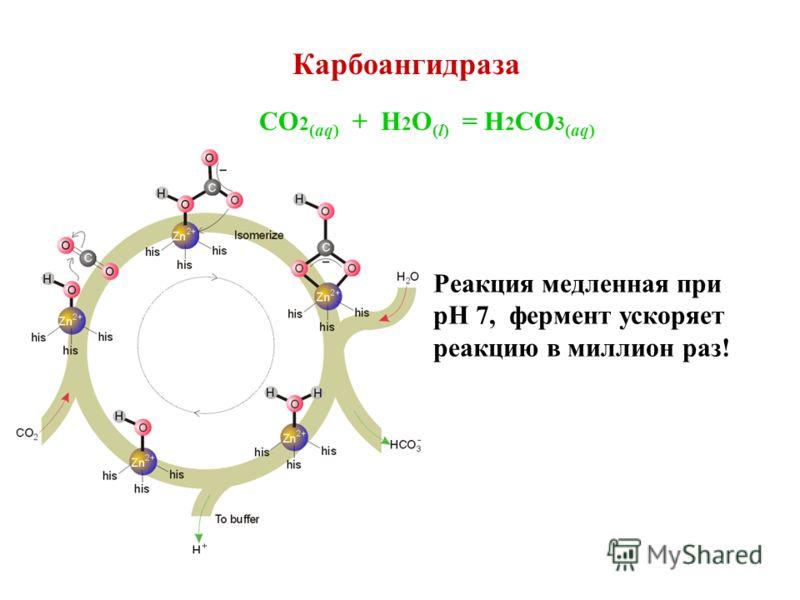 Карбоангидраза CO 2 (aq) + H 2 O (l) = H 2 CO 3 (aq) Реакция медленная при pH 7, фермент ускоряет реакцию в миллион раз!