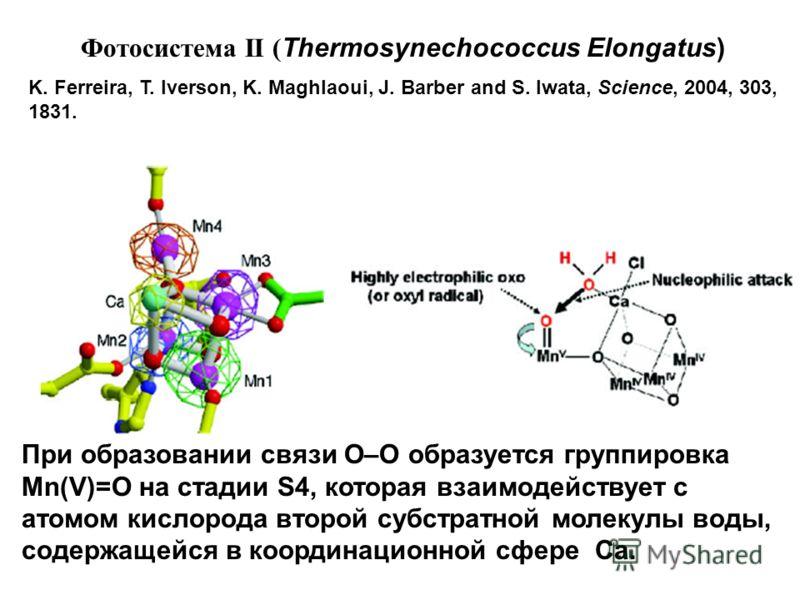 Фотосистема II ( Thermosynechococcus Elongatus) K. Ferreira, T. Iverson, K. Maghlaoui, J. Barber and S. Iwata, Science, 2004, 303, 1831. При образовании связи O–O образуется группировка Mn(V)=O на стадии S4, которая взаимодействует с атомом кислорода