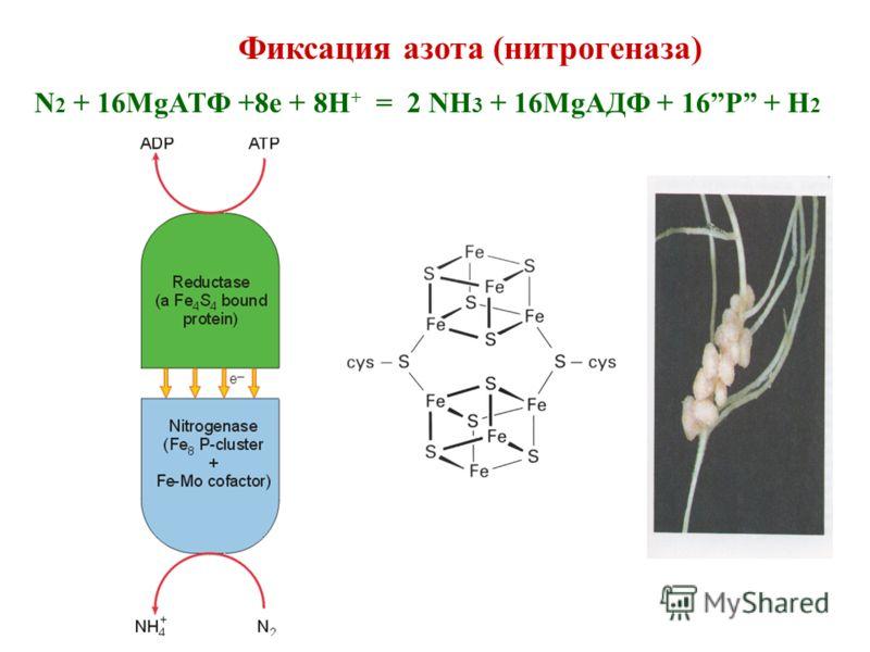 Фиксация азота (нитрогеназа) N 2 + 16MgATФ +8e + 8H + = 2 NH 3 + 16MgAДФ + 16P + H 2