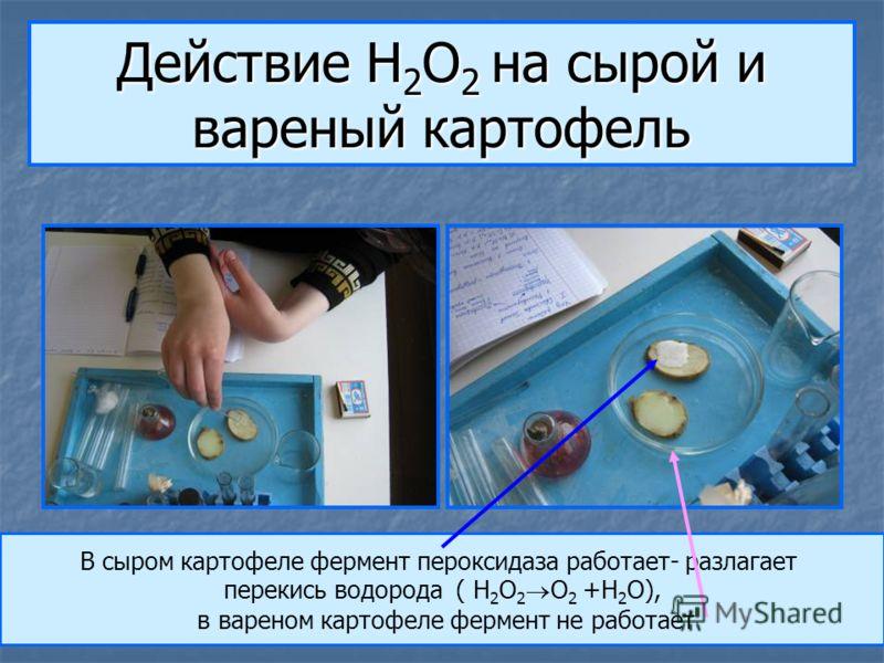 Действие H 2 O 2 на сырой и вареный картофель В сыром картофеле фермент пероксидаза работает- разлагает перекись водорода ( H 2 O 2 O 2 +H 2 O), в вареном картофеле фермент не работает