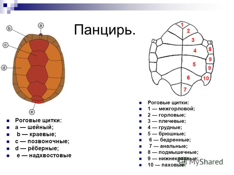 Панцирь. Роговые щитки: a шейный; b краевые; c позвоночные; d рёберные; e надхвостовые Роговые щитки: 1 межгорловой; 2 горловые; 3 плечевые; 4 грудные; 5 брюшные; 6 бедренные; 7 анальные; 8 подмышечные; 9 нижнекраевые; 10 паховые