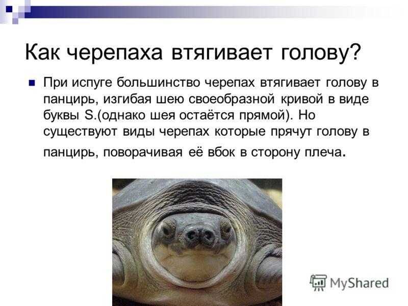 Как черепаха втягивает голову? При испуге большинство черепах втягивает голову в панцирь, изгибая шею своеобразной кривой в виде буквы S.(однако шея остаётся прямой). Но существуют виды черепах которые прячут голову в панцирь, поворачивая её вбок в с