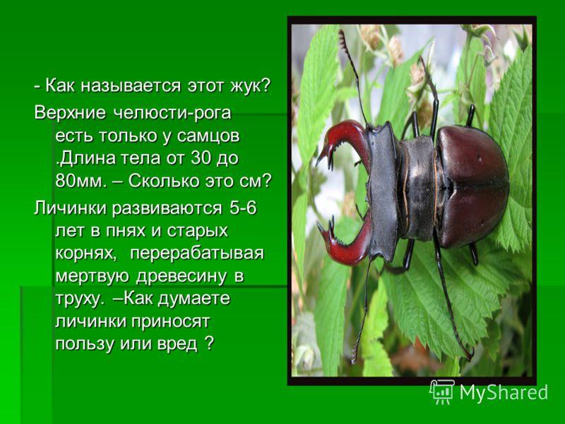 - Как называется этот жук? Верхние челюсти-рога есть только у самцов.Длина тела от 30 до 80мм. – Сколько это см? Личинки развиваются 5-6 лет в пнях и старых корнях, перерабатывая мертвую древесину в труху. –Как думаете личинки приносят пользу или вре
