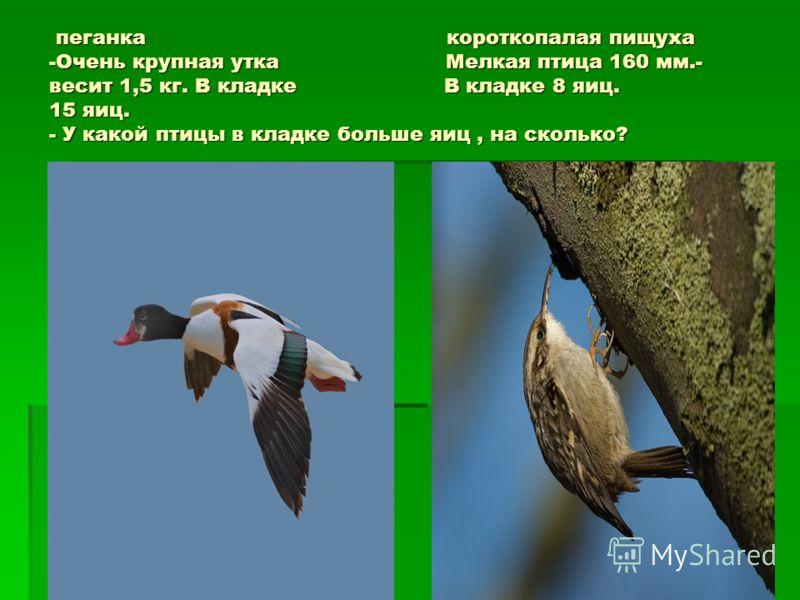 пеганка короткопалая пищуха -Очень крупная утка Мелкая птица 160 мм.- весит 1,5 кг. В кладке В кладке 8 яиц. 15 яиц. - У какой птицы в кладке больше яиц, на сколько? пеганка короткопалая пищуха -Очень крупная утка Мелкая птица 160 мм.- весит 1,5 кг.