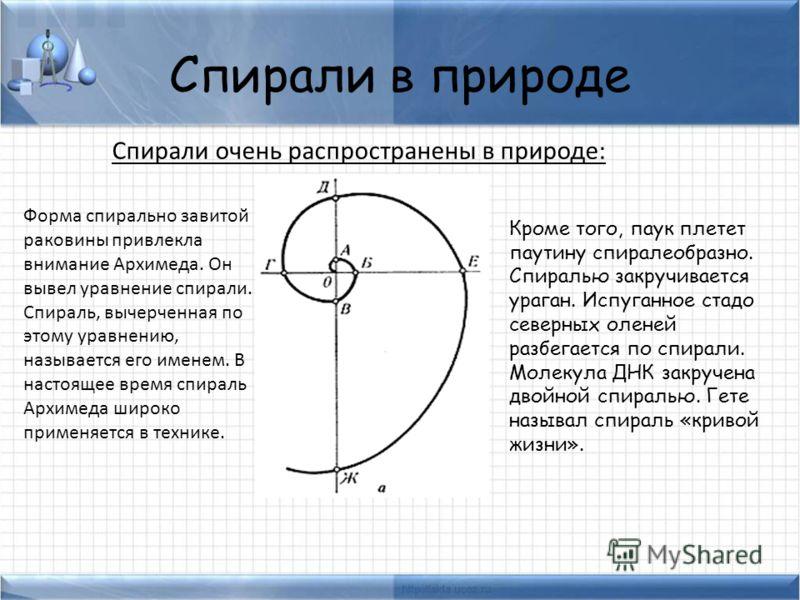 Спирали в природе Спирали очень распространены в природе: Форма спирально завитой раковины привлекла внимание Архимеда. Он вывел уравнение спирали. Cпираль, вычерченная по этому уравнению, называется его именем. В настоящее время спираль Архимеда шир
