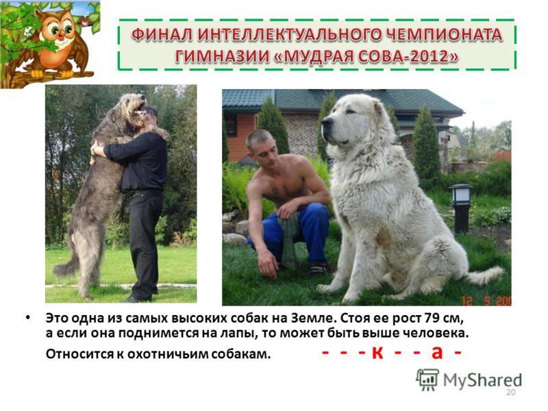 Это одна из самых высоких собак на Земле. Стоя ее рост 79 см, а если она поднимется на лапы, то может быть выше человека. Относится к охотничьим собакам. - - - к - - а - 20