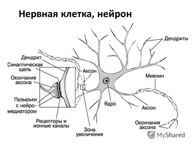 Нервная клетка, нейрон