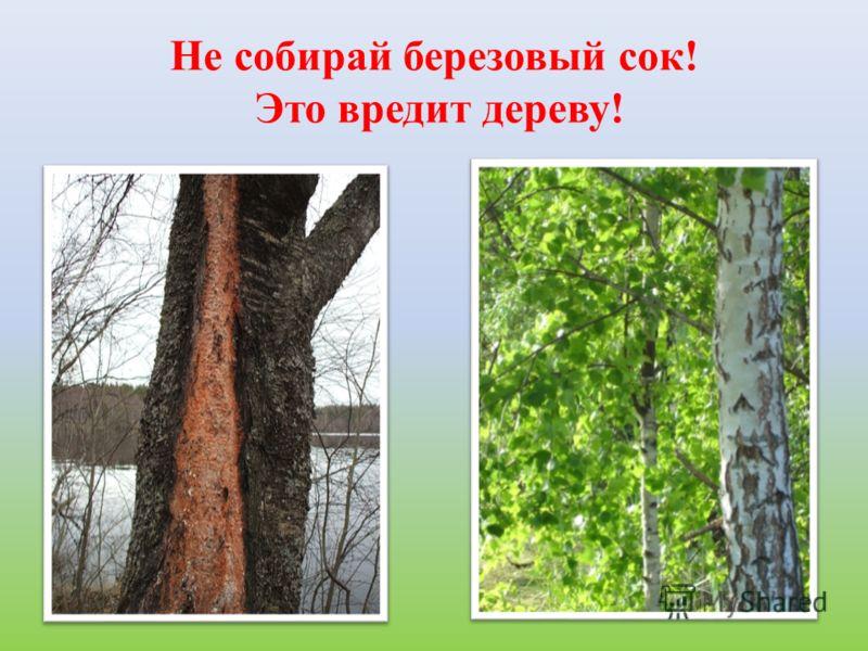 Не собирай березовый сок! Это вредит дереву!