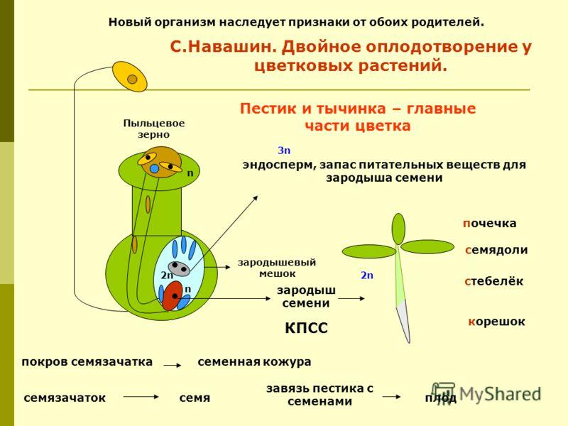 зародыш семени корешок стебелёк семядоли почечка эндосперм, запас питательных веществ для зародыша семени С.Навашин. Двойное оплодотворение у цветковых растений. покров семязачаткасеменная кожура семязачатоксемя завязь пестика с семенами плод Пестик